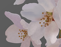 Cherry Blosson in Vector
