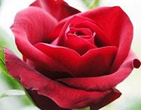 Rose: Short Silent Film