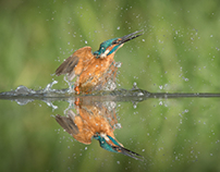 A Day with Diving Kingfishers