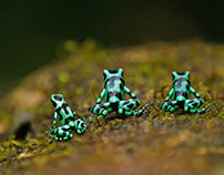 Costa Rica Frogs