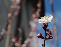 Albicocco in fiore.