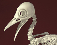 Bare-Fronted Hoodwink Skeleton