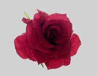 Painting like photo of Rose