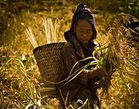 Harvesting Rice in Dry Lands