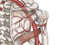 Axillary artery and its branches