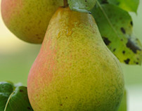 Pears at fall