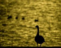 Canada Geese at a Lake
