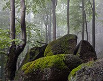 My Beech Forest
