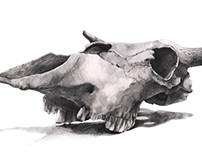 Academical Drawing / Skull Study