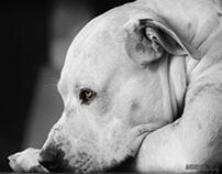 Dogo Argentino (Argentinian Mastiff) - AXEL