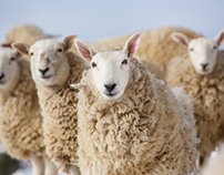 Sheep for All Seasons