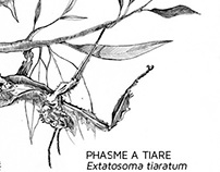 Scientific Illustration - Phasme à Tiare