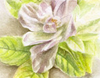 The White Rose-Watercolor painting