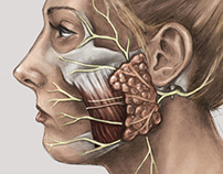 Facial nerve and Bell's palsy