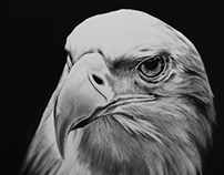 Eagle Drawing / Charcoal Drawing