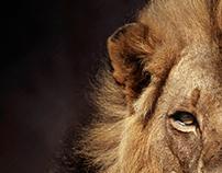 The Dusk Lion