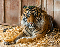 Tigers At Point Defiance Zoo