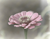 A simple pink flower