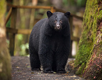 Bear Photography on Vancouver Island
