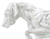 Dog Musculature