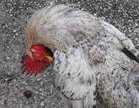 Fowl Cock