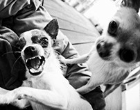 FIGHTING CHIHUAHUA DOGS