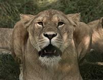 Cerza Zoo's Lions