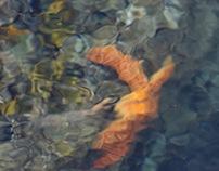 Starfish Current