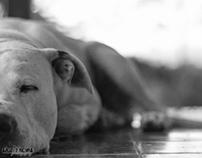 Dogo Argentino (Axel)