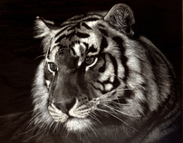 Just a memory. Bengal tiger poster