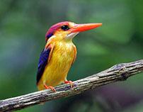 Kingfisher's