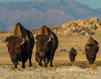 The Mighty Buffalo