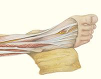 Anterior Leg & Foot