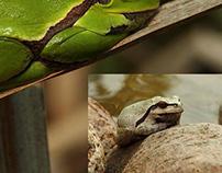 Hyla arborea - chameleon