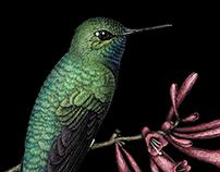 Glowing puffleg hummingbirds