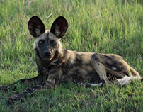 """The Painted Wolf"" African wild dog part 2"