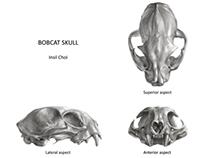 Bobcat skull 2D + 3D