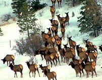 One Hundred Elk
