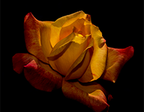 A September rose - One day later...