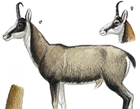 Guide to the mammals of Galicia, ungulates.