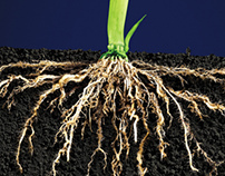 Corn Plant Root Systems
