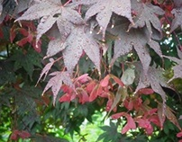 4 Seasons - Japanese Maple