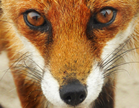 Red Fox Photos