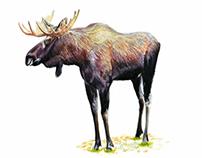 Deer ( Cervidea )