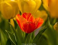 Tulips, Daffodils & Camellias of Fairhope