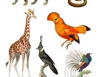 Wild Animal And Fantastic Bird Illustrations