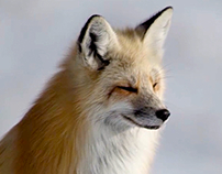 Wild Yellowstone - Red Fox
