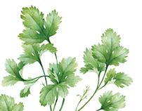 watercolor basil & coriander