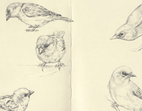 Drawings 2013 | NZ Bird Studies