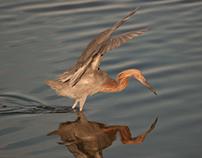 Red-Shouldered Hawk Photo-shoot